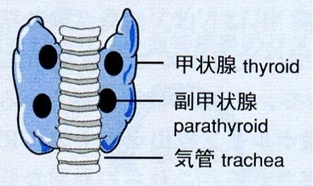副甲状腺の図